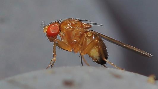 Suzuki flugan-Drosophila suzukii